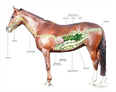 magsår häst medicin
